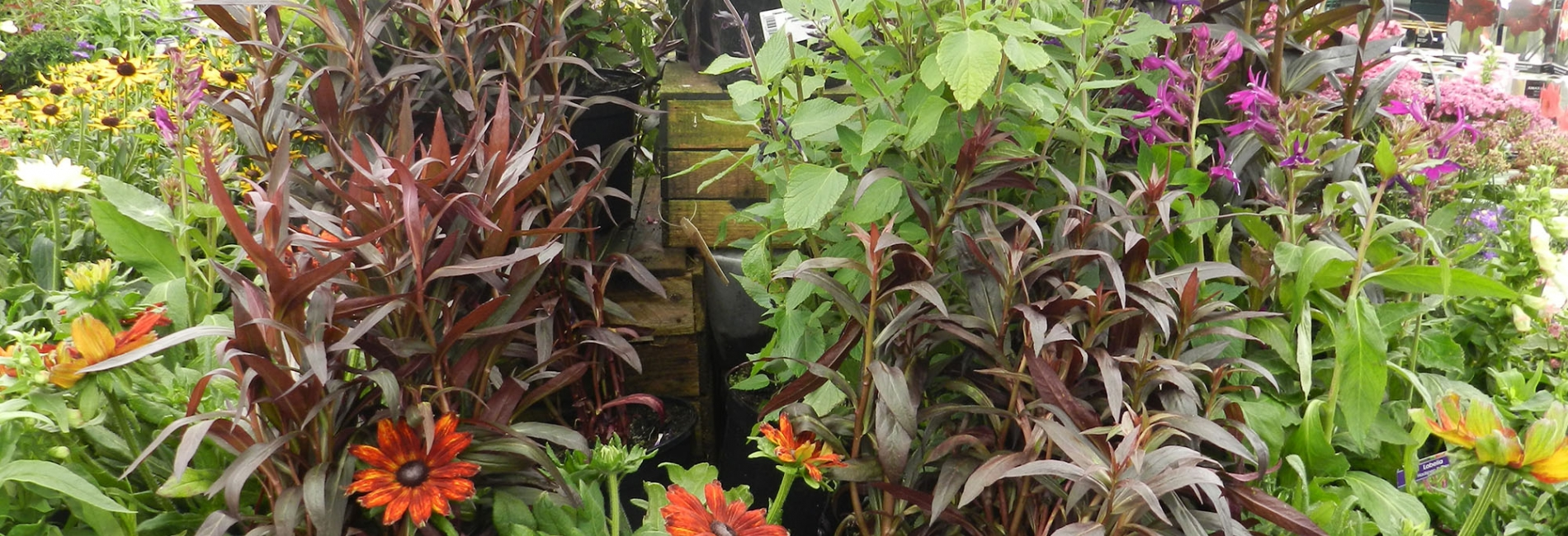 Hardy perennials, roses, bulbs & bedding plants